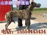 长期供应销售圣伯纳犬 圣伯纳犬价格 大丹犬幼崽销售圣伯纳