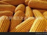 供应优质玉米 河南黄玉米 饲料玉米