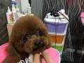 小型犬美容体验价99元起