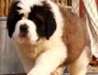 圣伯纳犬 正规犬舍繁殖 诚信交易 纯种犬 可签协议