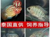 视频泰国直供,高品质。罗汉鱼鱼苗