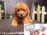 西宁纯种泰迪犬价格 西宁哪里能买到纯种泰迪犬