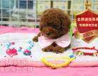 精品繁殖泰迪幼犬 可爱甜美包健康包纯种可自提