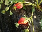 牛奶草莓采摘