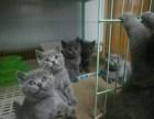 广州什么地方有猫舍卖蓝猫/哪里有卖蓝猫