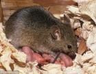 专业灭鼠 人畜无害