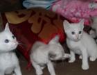 纯种家养带证红重点红虎斑暹罗猫 蓝重点 玳瑁暹罗猫求铲屎官
