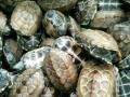 养殖场出售龟大量出售