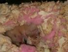 可爱的金丝熊小仓鼠
