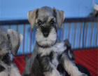 犬舍直销 纯种雪纳瑞犬 包纯种保健康