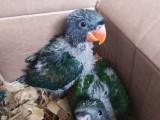 出售大緋胸鸚鵡 葵花鸚鵡 亞馬遜鸚鵡 灰鸚鵡 折衷 金剛鸚鵡