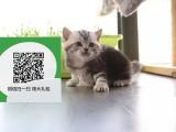 柳州哪里有宠物猫出售,柳州哪里有卖纯种美短价格