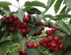 快快带上家人、朋友来品尝原生态有机大樱桃吧