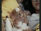 三花妹妹,黄梨花弟弟两只猫咪找领养