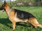 出售纯种德国牧羊犬 德牧幼犬 质量好 健康保证