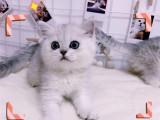 宁夏银川纯种银渐层幼猫全国包邮