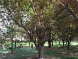 平凉大量批发60公分国槐树