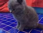 多窝可选 北京实体猫舍 专业繁殖 赛级 纯种 蓝猫