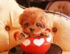 本地犬舍出售大眼睛纯种泰迪熊 上海茶杯体泰迪多少钱