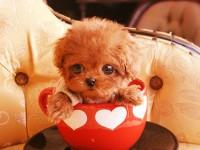 本地犬舍出售大眼睛純種泰迪熊 上海茶杯體泰迪多少錢