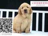 哪里的金毛最便宜 哪里有纯种金毛犬