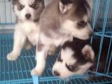 北京西城纯种哈士奇幼犬一般多少钱