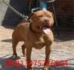 比特犬价格图片 三个月比特犬多少钱一只