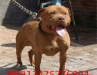 哈尔滨南岗比特犬养殖犬舍 出售三个月纯比特犬幼犬