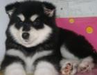 武汉正规犬舍出售纯种阿拉斯加犬幼犬,高品质阿拉斯加赛级宠物狗