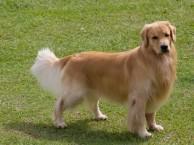 西安金毛犬拉布拉多犬一萨摩犬 哈士奇巴哥犬阿拉犬等包犬瘟细小