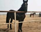 骑乘半血马哪里有出售的多少钱适应在北京地区养殖吗