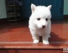 成都哪里有银狐犬出售 纯种健康的银狐犬哪里有多少钱