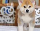 出售精品纯正血统高品质柴犬高品质包纯种宠物狗