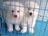 心宠犬舍 萨摩耶品相优熊版 雪白微笑天使