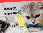 折耳猫3个月白猫妹妹找新家了,是无偿带走哦Q.Q