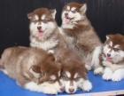 巨型阿拉斯加幼犬 颜色齐全 保纯保健康 可全国发货