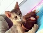 国内超级罕见蓝色阿比西尼亚猫