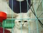 出售成年母加菲,蓝猫,渐层,虎斑有的带肚子