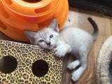 兰州暹罗猫怎么卖的 兰州暹罗猫的价格是多少钱 暹罗猫照片