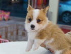 西安狗狗之家长期出售高品质 柯基 售后无忧