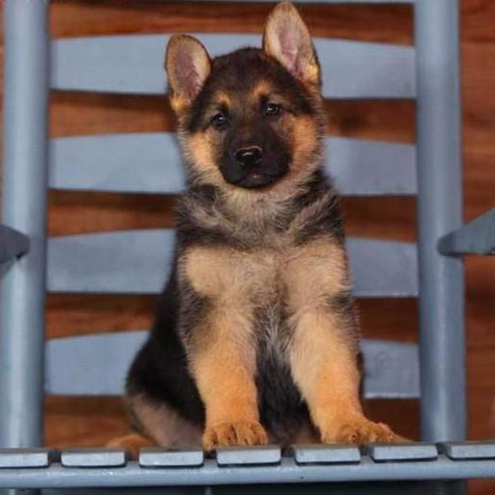 养殖基地出售 优质德国牧羊犬 纯种签证包活 信誉第一