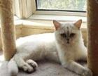 英短银渐层 母猫 英国短毛猫