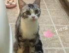 美短标准斑银虎斑加白成母猫找新家