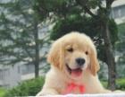大型犬舍繁殖高品质金毛犬健康有保证欢迎上门