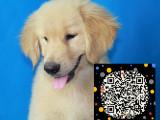 美版大头金毛幼犬 CKU认证血统 纯种金毛狗出售