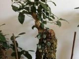 昆明市区 吸水石 风水石 上水石 榕树盆景批发 价格低廉