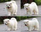 广州哪里有卖萨摩耶犬 广州哪里买萨摩犬 广州信誉好的狗场