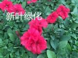 赤峰出售花卉:牵牛 串红 孔雀草 四季海棠 火炬 鼠尾草