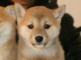 血統柴犬 專業繁殖 送貨上門或現場挑選