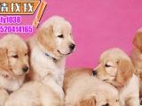 金毛犬,性格温顺,智商高-送狗狗用品